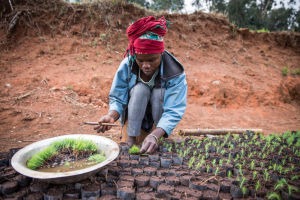 Worker at Tanzanian commercial tree nursery