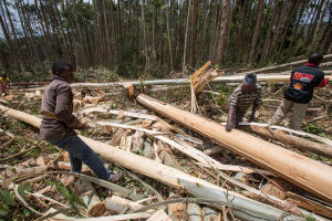 Harvesting in the Tanzanian forestry sector