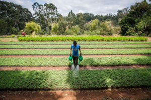 Watering at commercial tree nursery in Tanzania